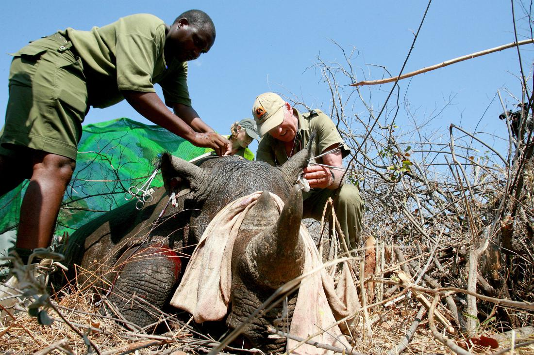 Zimbabwe Removes It's Rhino Horns to Stop Them From Being Poached